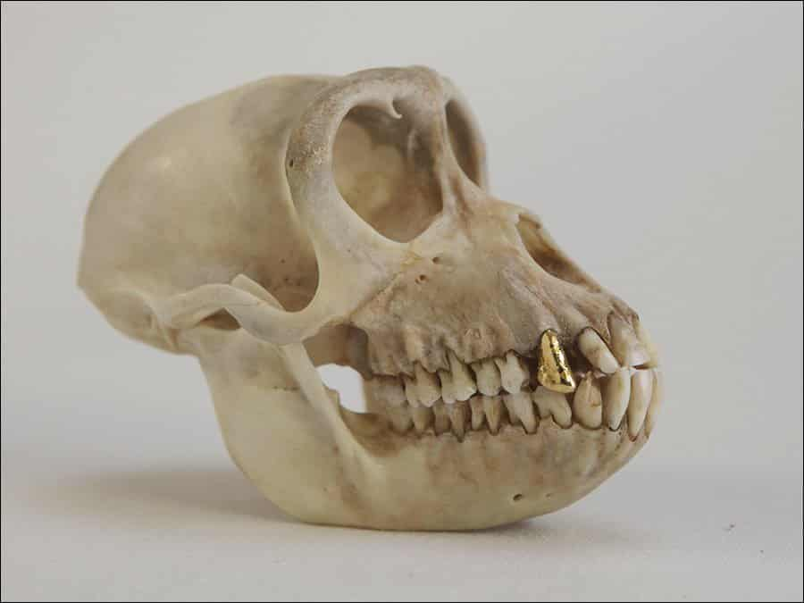 Seyo-Cizmic-Once-a-King-Always-a-King-Monkey-skull-with-24-karat-gold-tooth